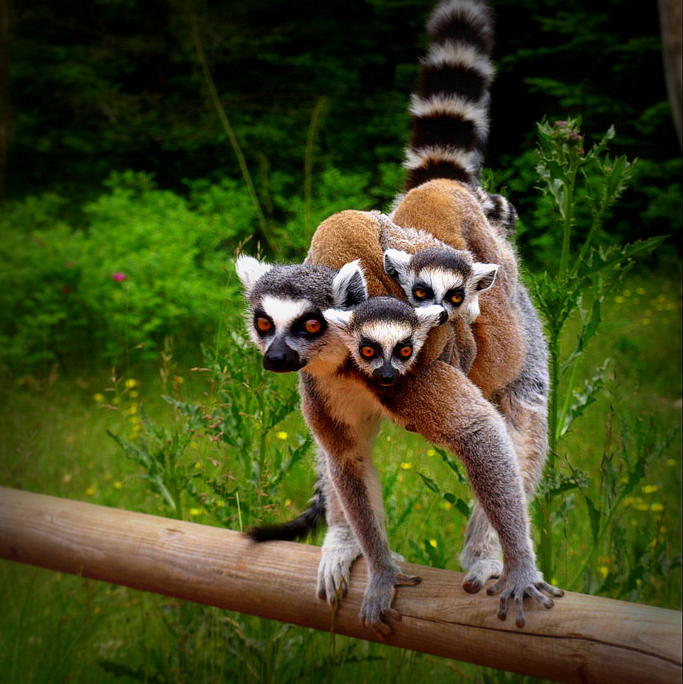 Photograph A lemur mom with her two cubs on the back by Sara Daniella on 500px