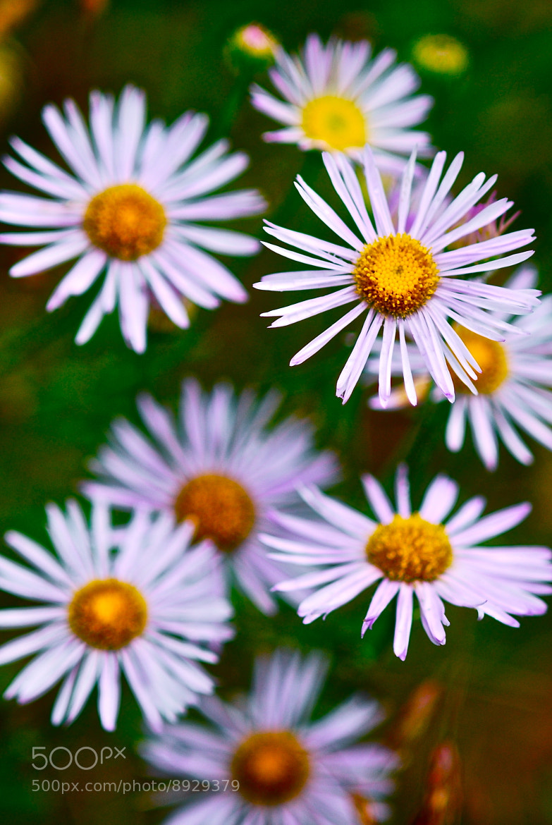 Photograph Little Daisys by Claire Sianna Seaman on 500px