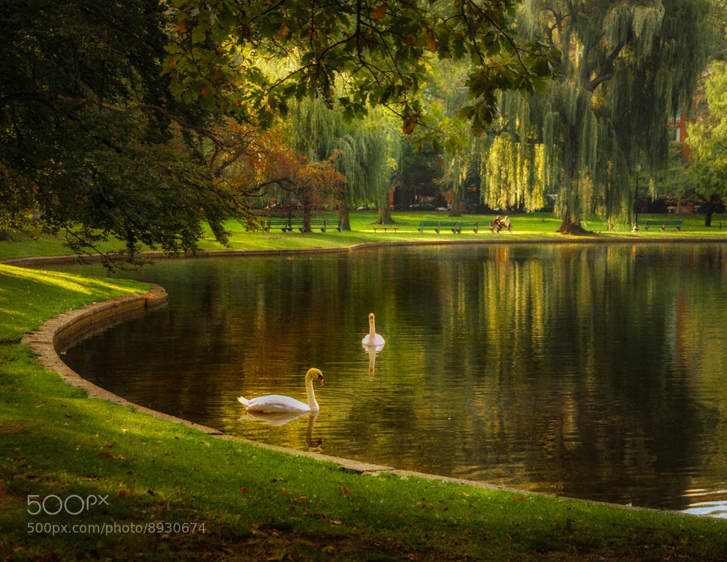 Photograph Swan Lake by Bob Kelly on 500px