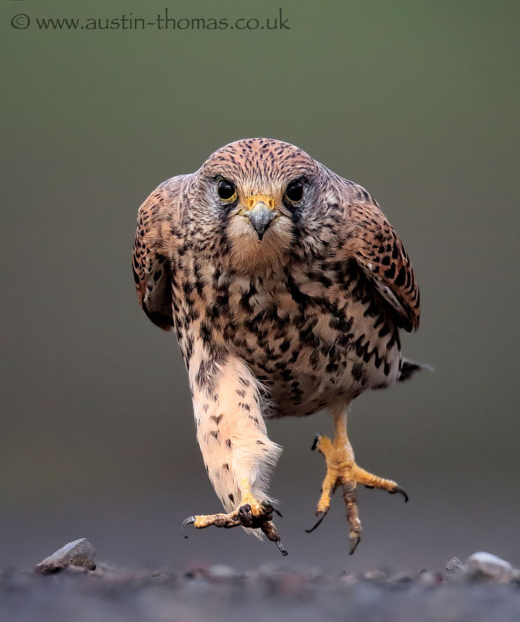 Kestrel running