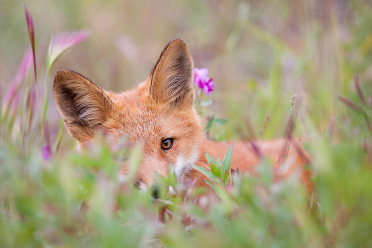 Photograph Red fox in flowers by Nicolas Dory on 500px