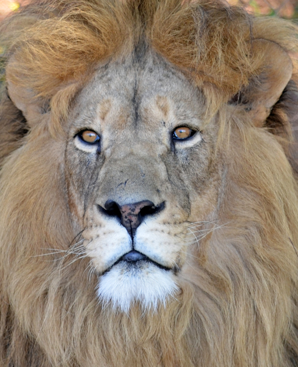 Photograph Lion King by Cornell Mans on 500px