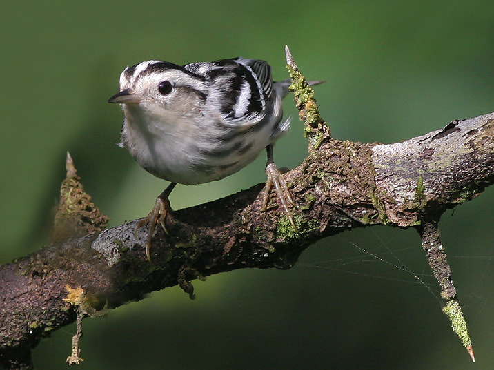 Photograph Black and White Warbler by Aat Bender on 500px