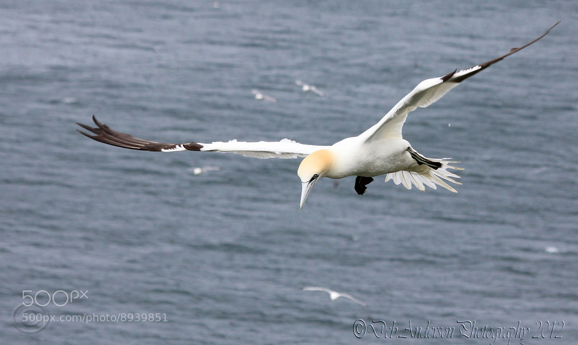Photograph Gannet. by Deborah Anderson-Marland on 500px