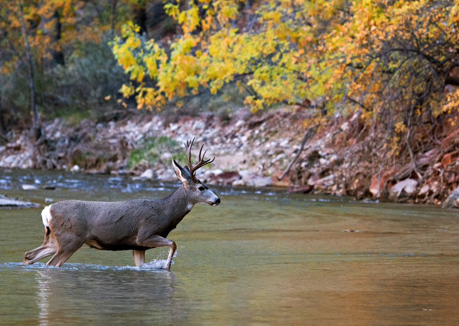 Deer Crossing River by Wesley Aston on 500px.com