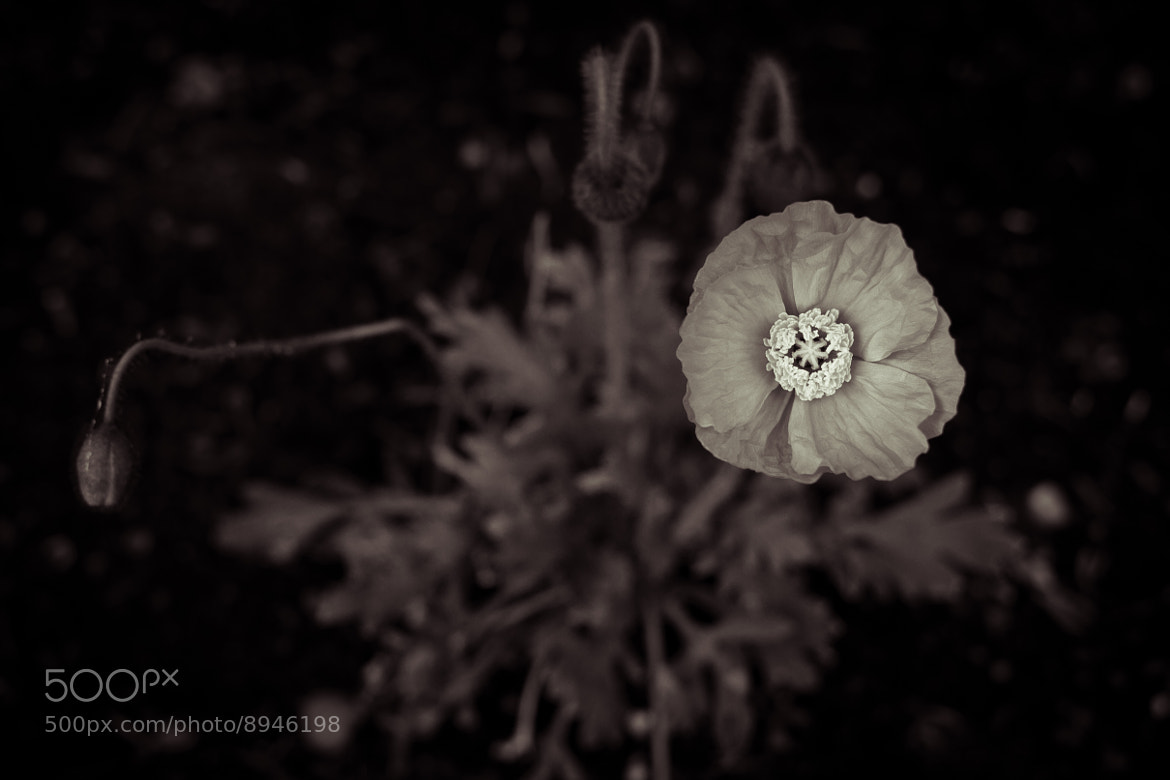 Photograph Icelandic Poppy by Jason Groepper on 500px
