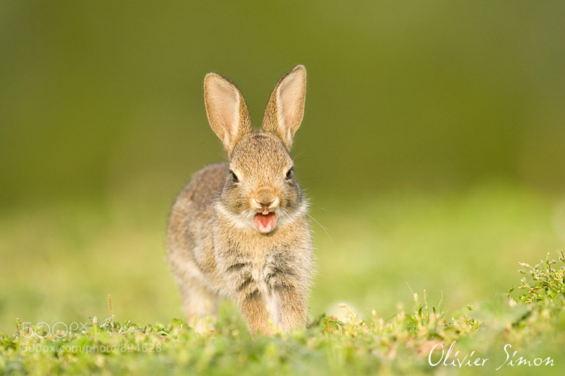 Photograph Tired rabbit by Olivier SIMON on 500px