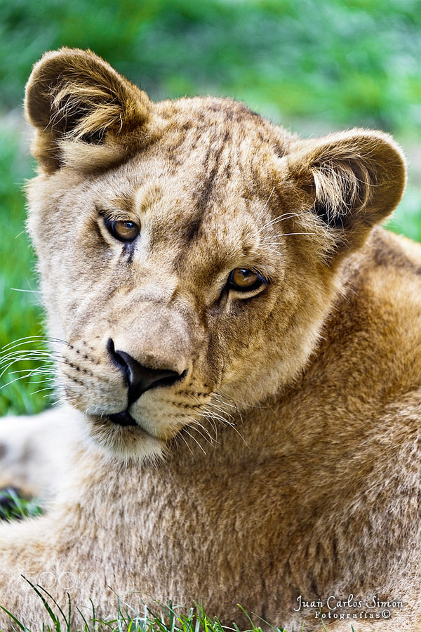 Photograph La pequeña leona (the little lion) by Juan Carlos Simón on 500px