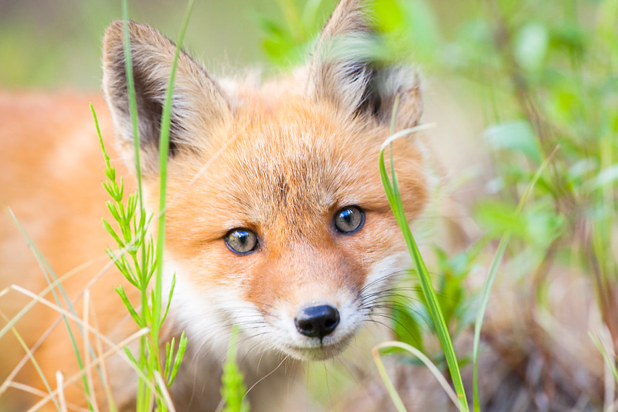 Photograph Little red fox kit by Nicolas Dory on 500px