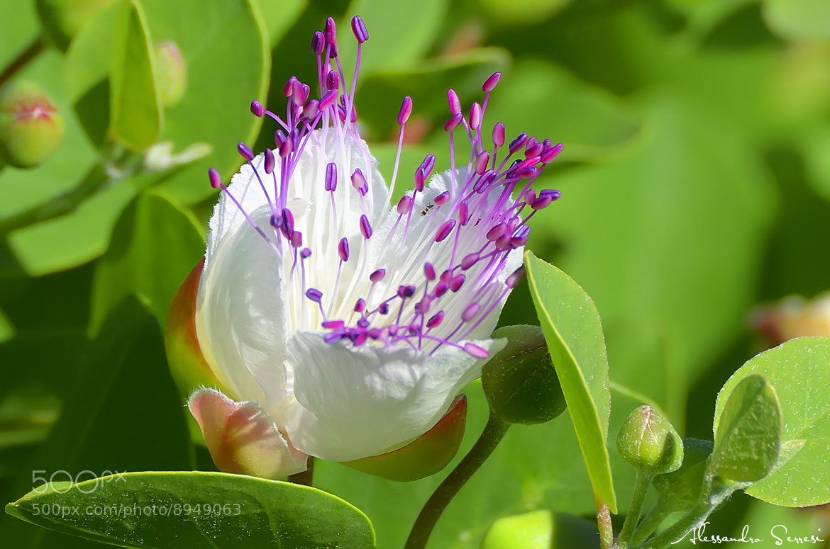 Photograph FLOWER OF THE CAPER by Alessandro Serresi on 500px