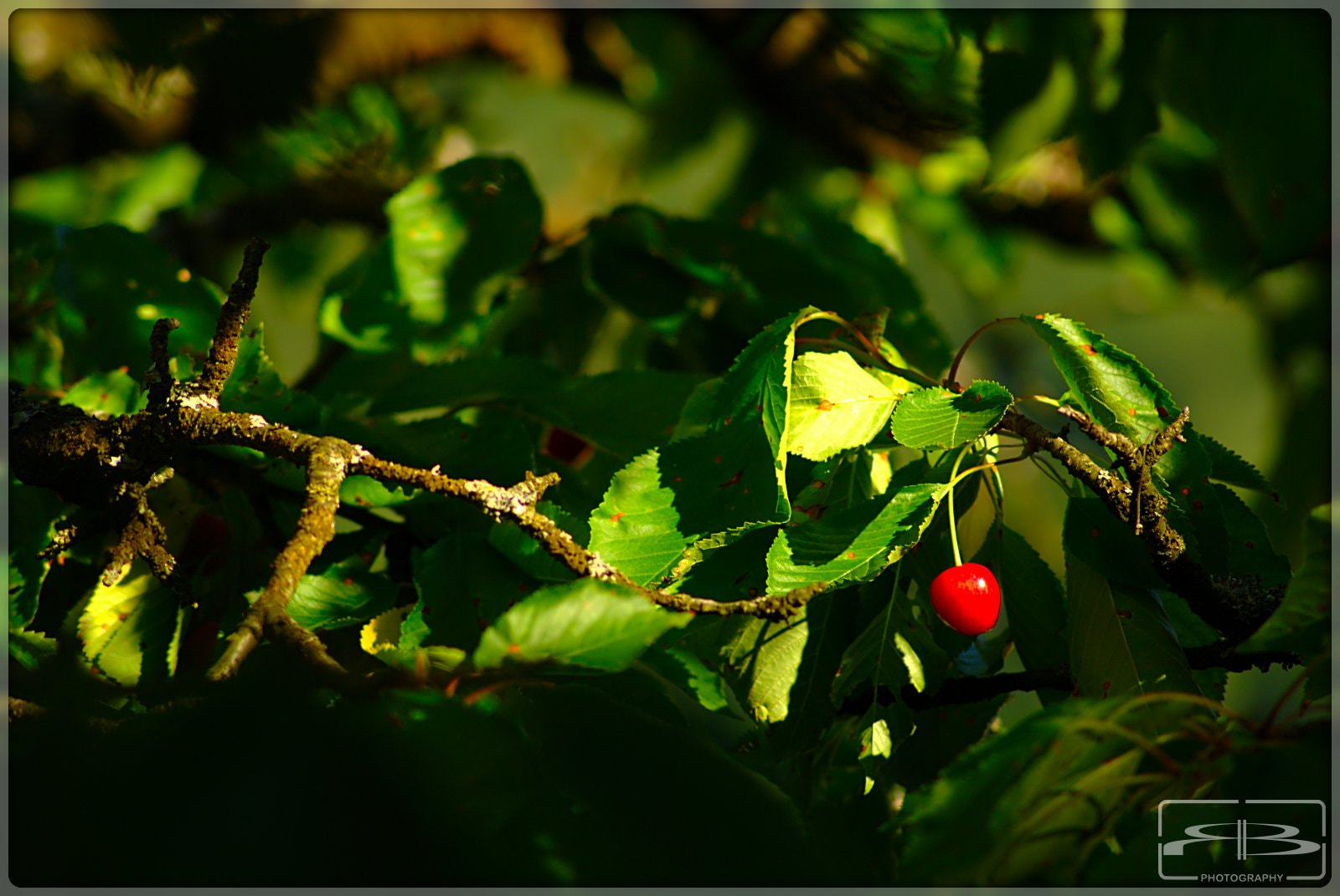 Photograph Lonely Cherry by Rene BERNHARD on 500px