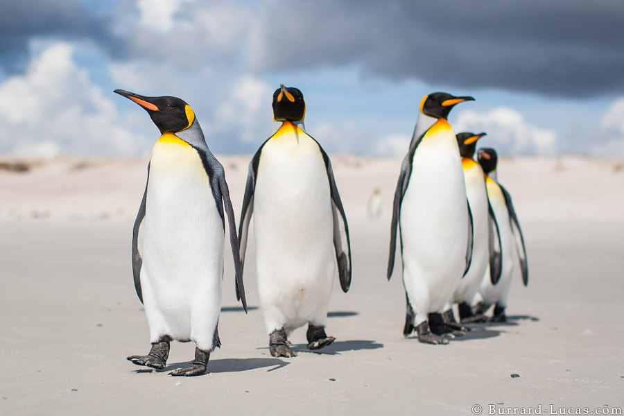 Photograph King Penguins by Will Burrard-Lucas on 500px