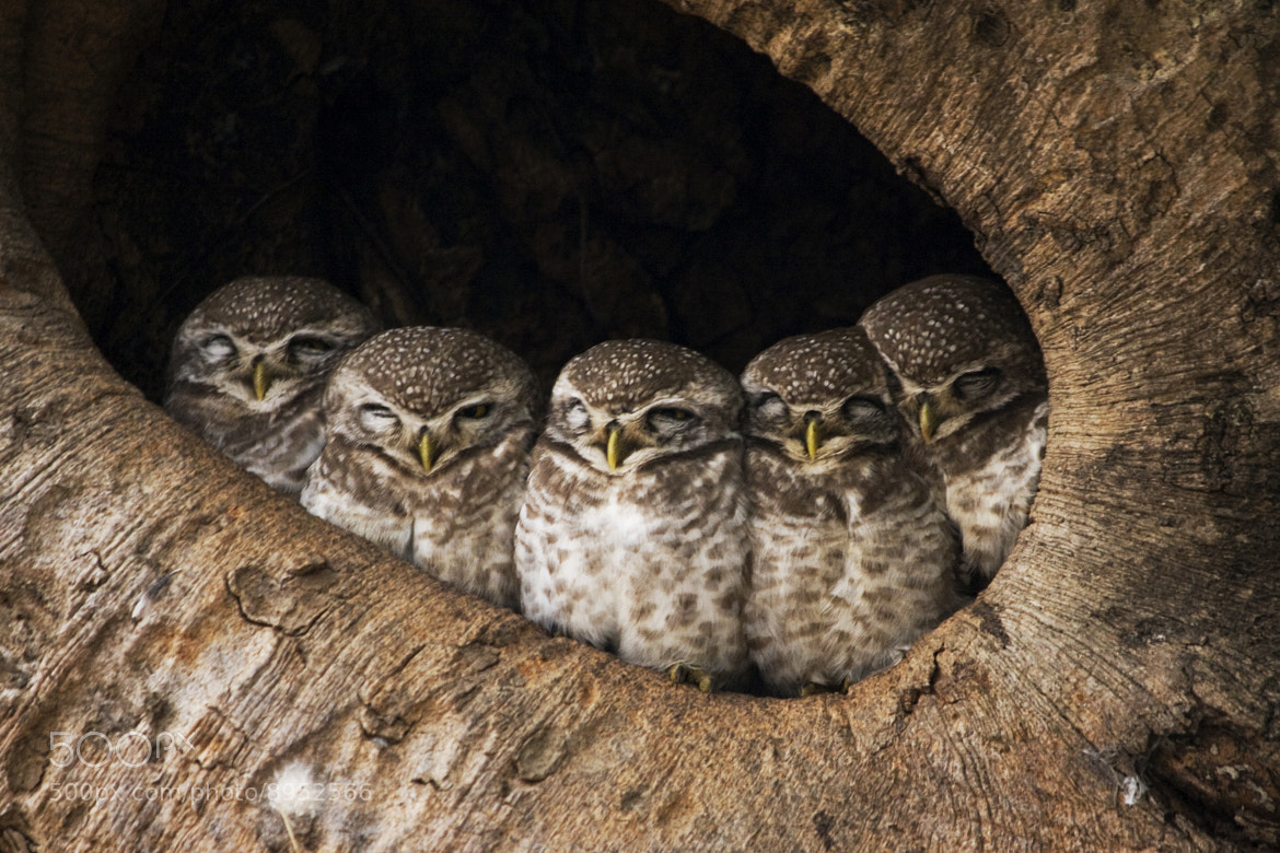 Photograph Dozing Owlets by Mohit Verma on 500px