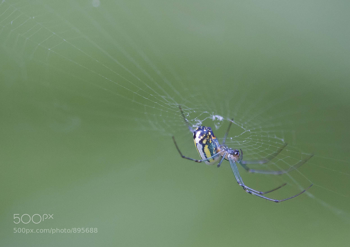 Photograph Tiny garden spider by Sandra Hughes Benton on 500px