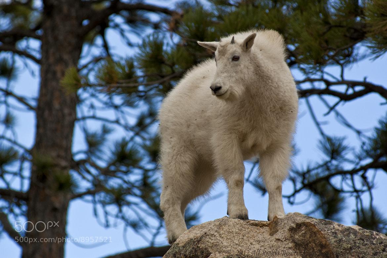 Photograph Mountain Goat Kid by Komi Fuchs on 500px