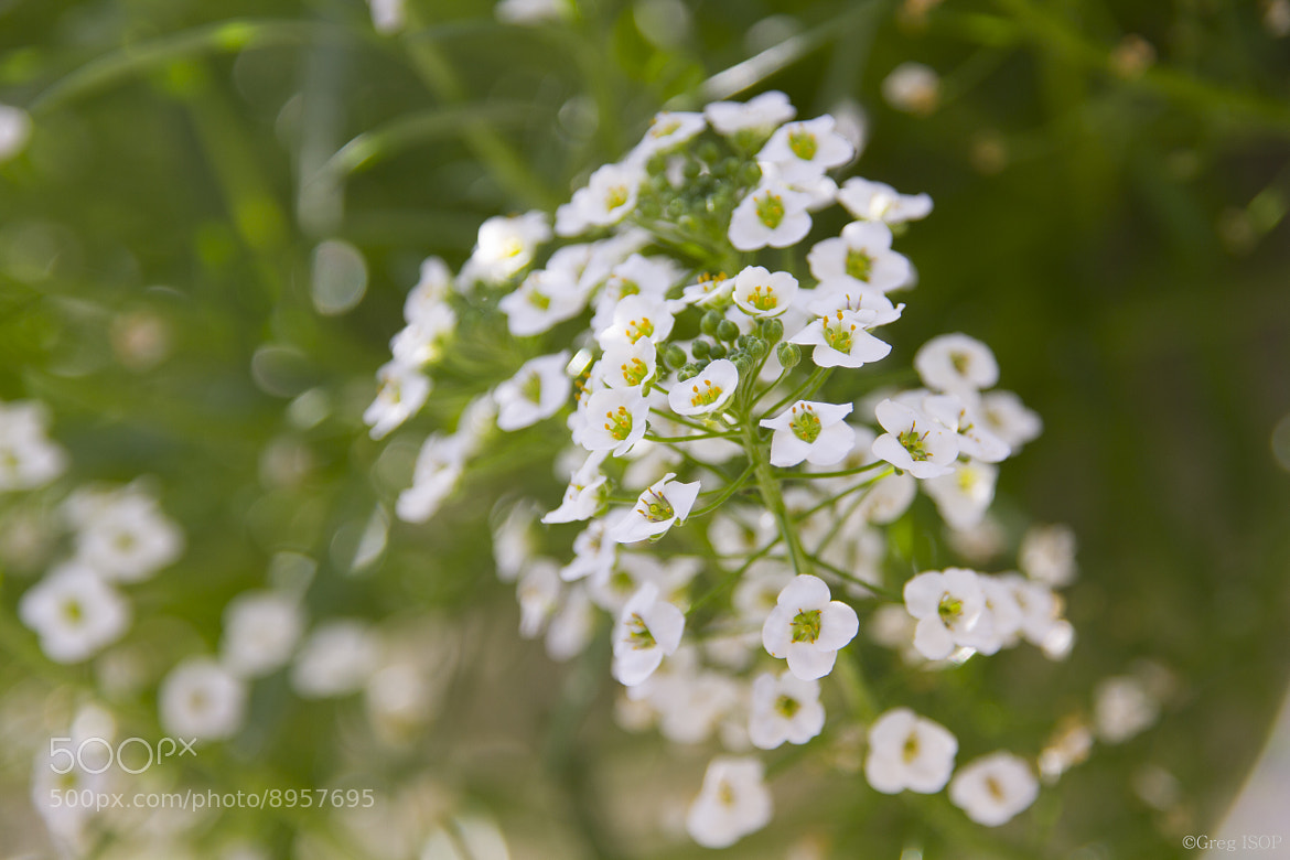 Photograph Little flowers by ISOP Greg on 500px