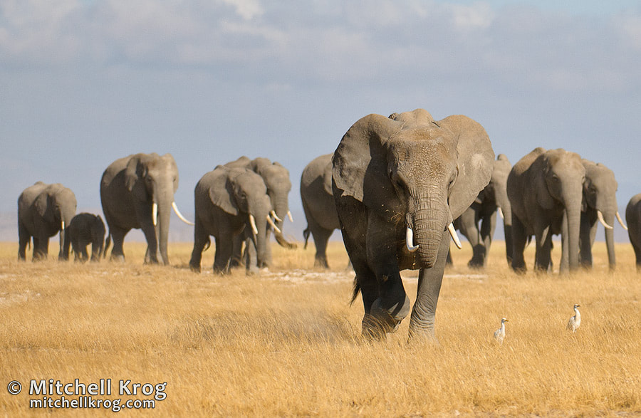 Photograph Elephants at Amboseli by Mitchell Krog on 500px
