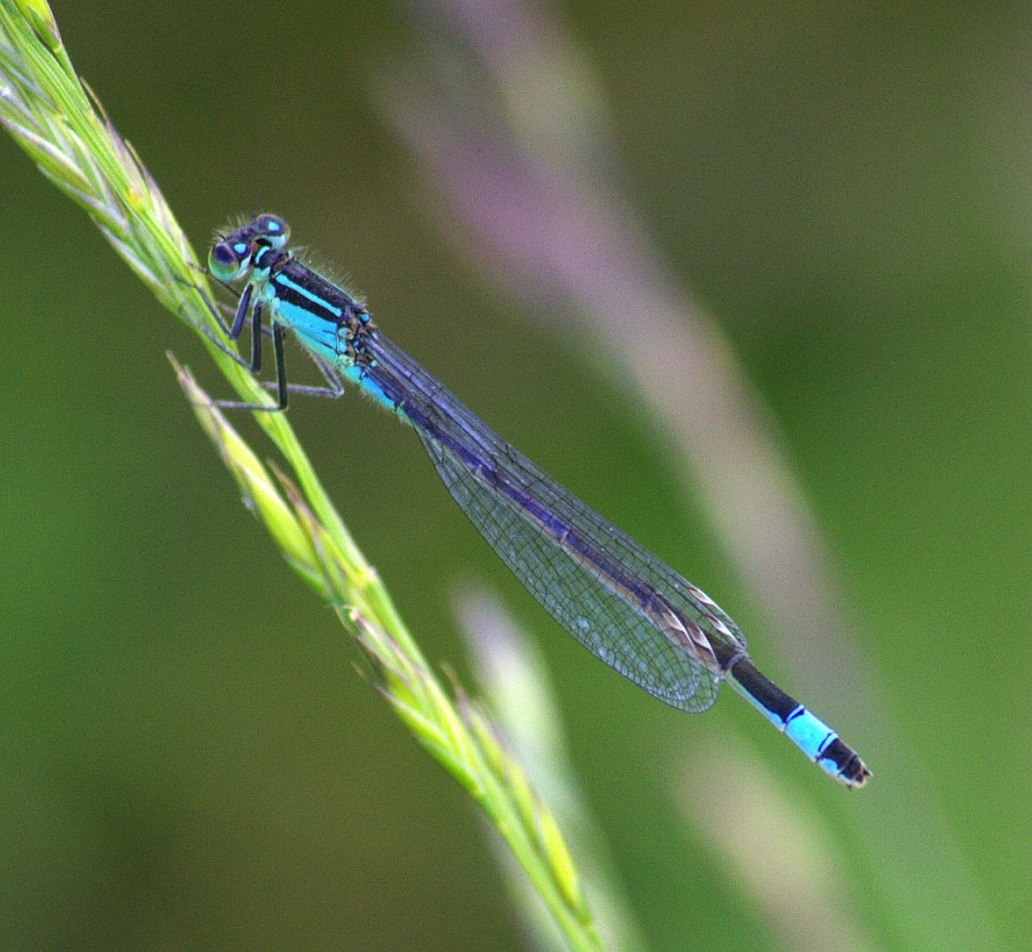 Photograph Blue Damselfly by Chrissie Barrow on 500px