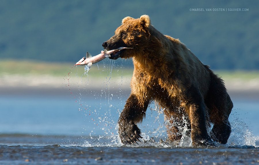 Photograph The Unfortunate Salmon by Marsel van Oosten on 500px