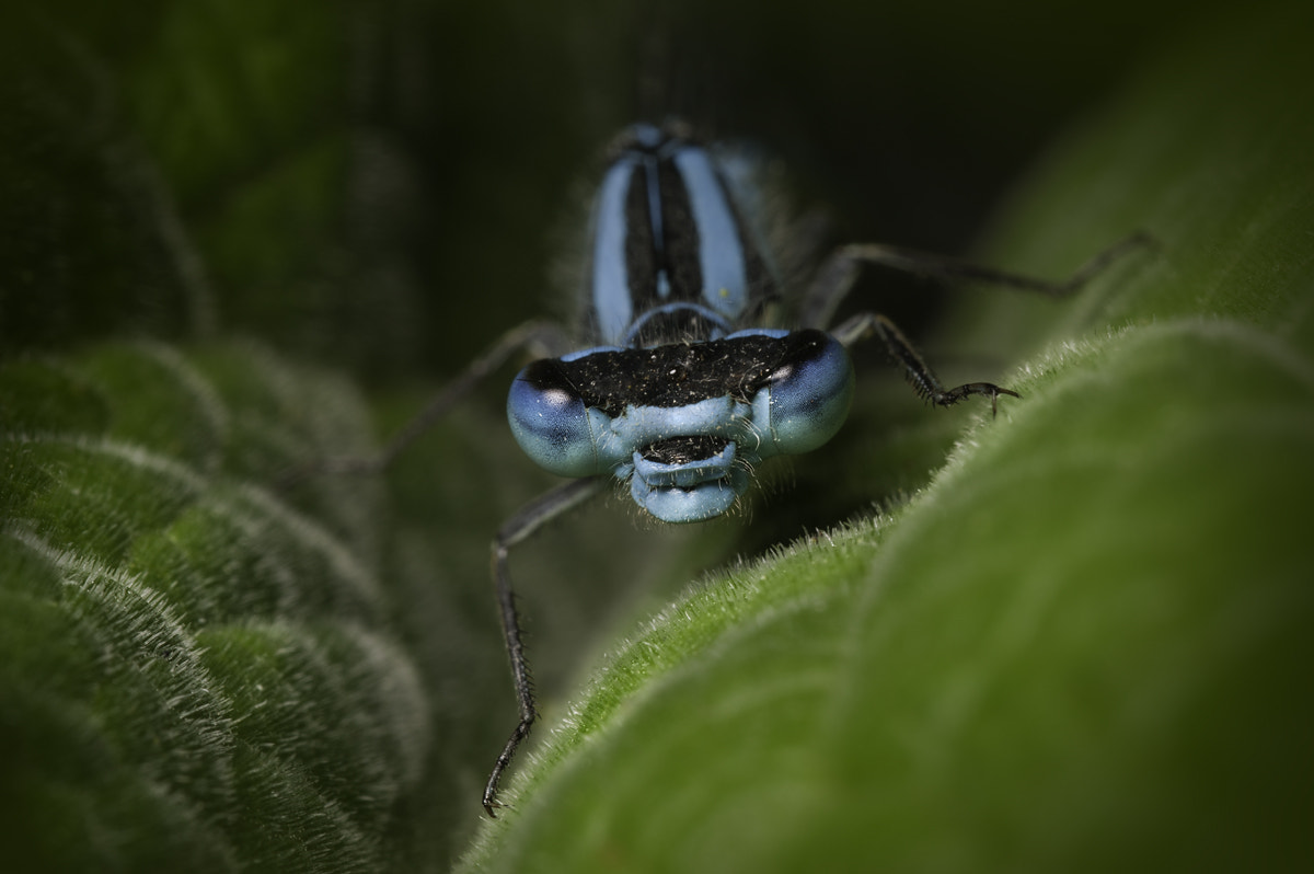 Photograph Common Blue Damselfly by Andy Astbury on 500px