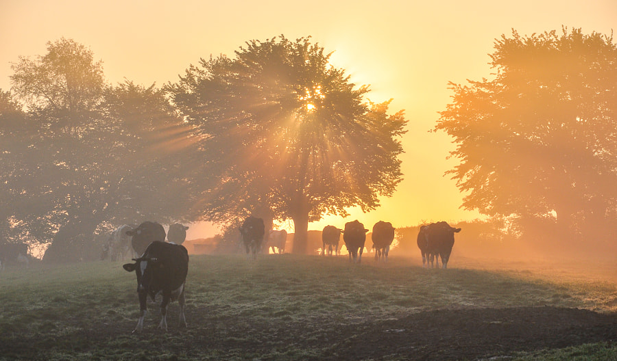 Photograph Foggy bocage and spring cows by Guillaume Louÿs-Jupiter on 500px