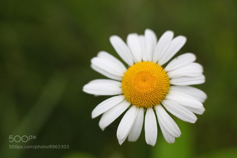 Photograph Daisy/Camomile by Yana Bukharova on 500px