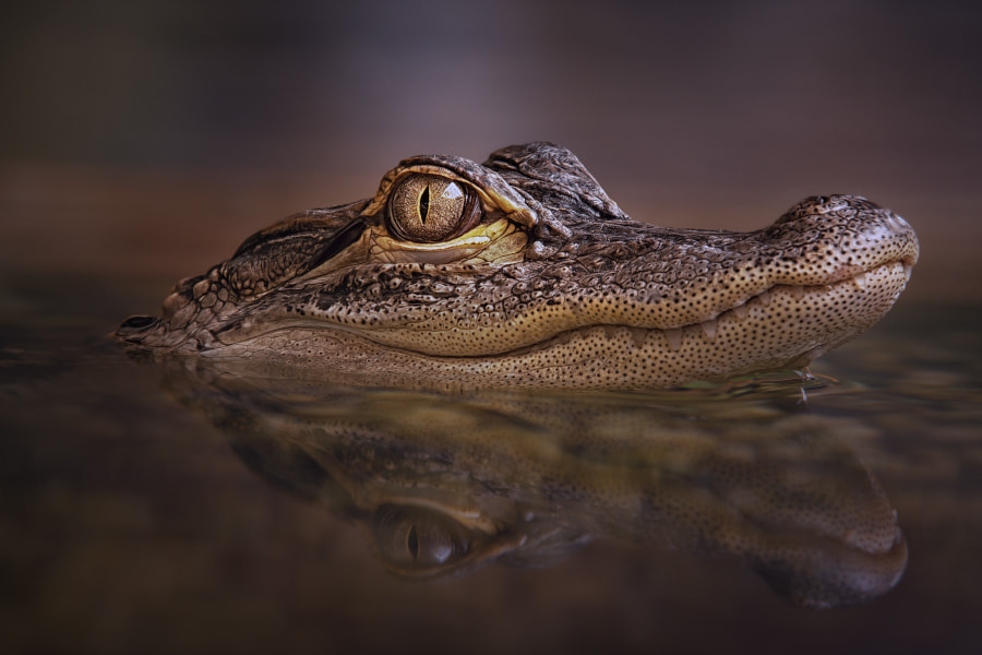 Photograph American alligator by Manuela Kulpa on 500px