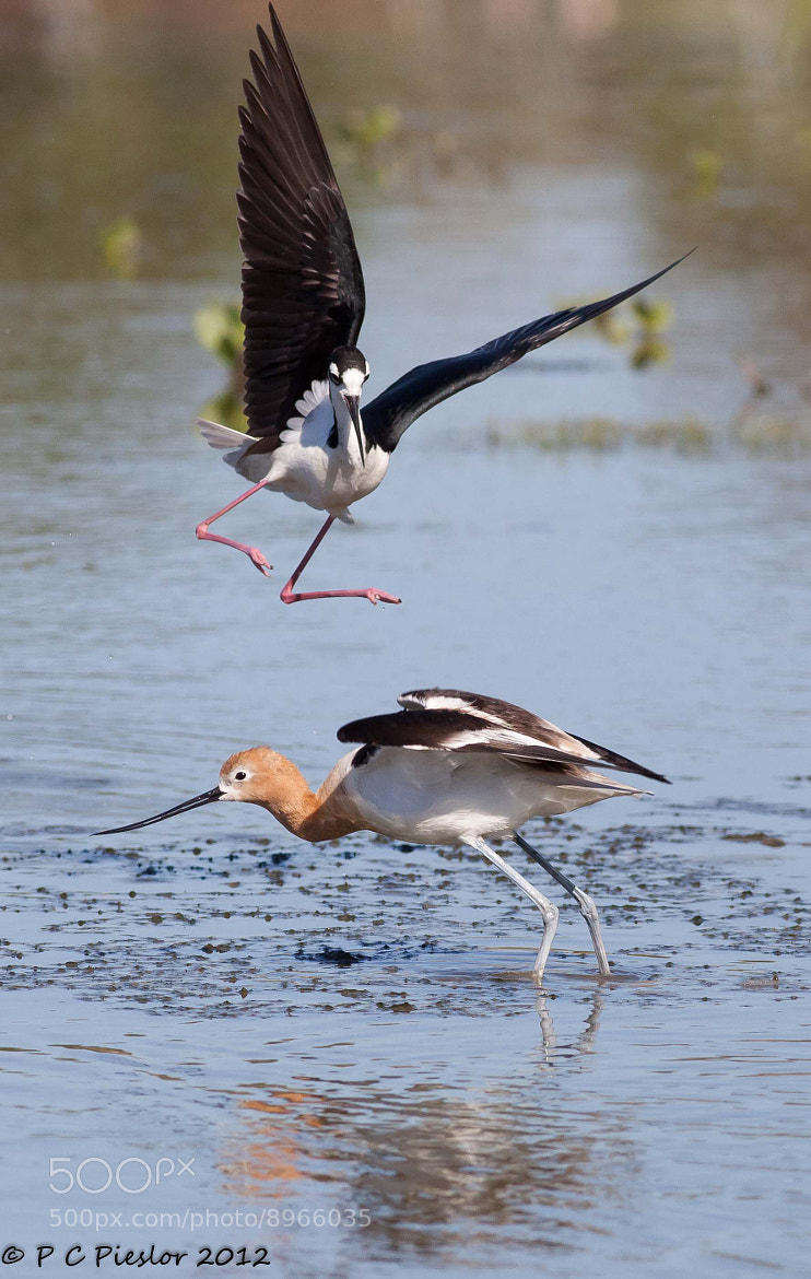 Photograph Attack of the stilt by Pete  Pieslor on 500px