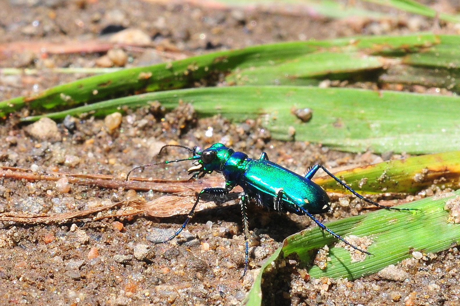 Photograph Tiger Beetle by Eric Le Bel on 500px