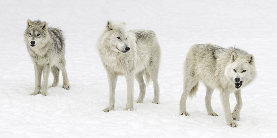 Wolf ways... by Daniel Parent on 500px.com