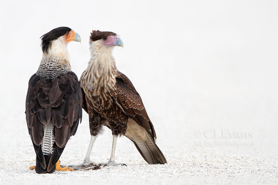 Photograph Caracara Road Crew by Christina Evans on 500px