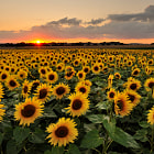 Sunflower field at sunset.