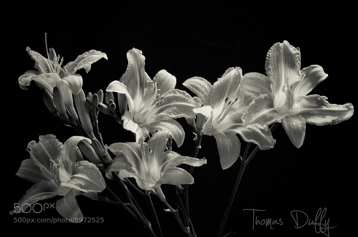 Photograph Daylily's in Black& White by Thomas Duffy on 500px