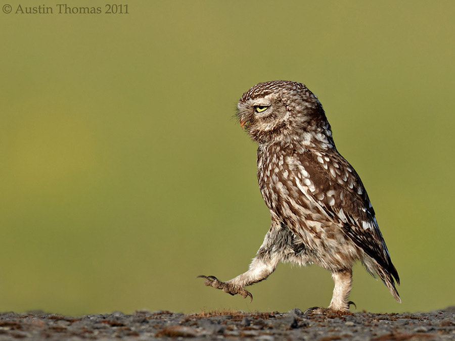 Little Owl marching