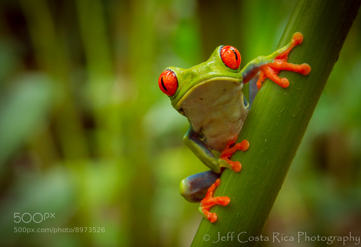 Photograph Red Eyed - Tree Frog by Jeffrey Muñoz on 500px