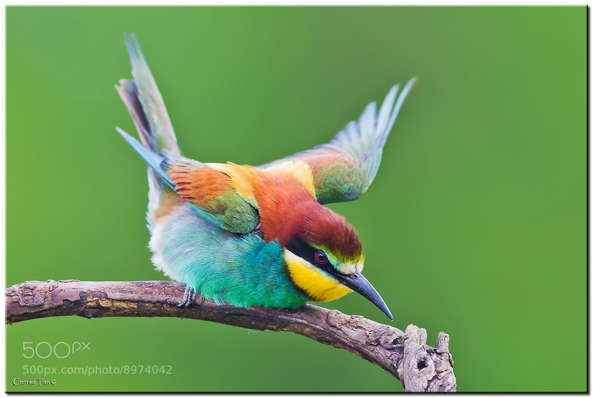 Photograph European Bee Eater by Conrad Tan on 500px