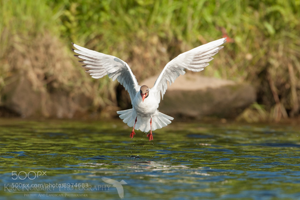Photograph Black-Headed Gull by Kirk Norbury on 500px