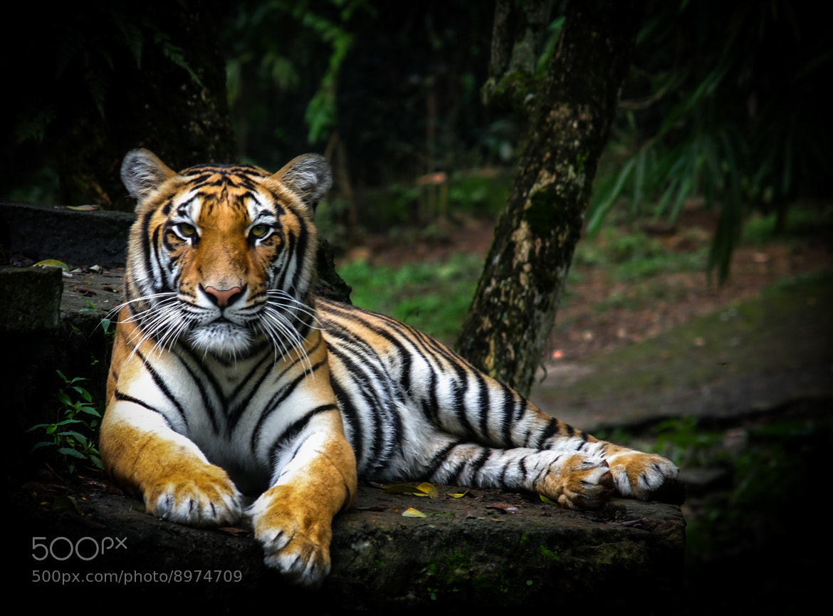 Photograph Panthera tigris sumatran by pandu shashi on 500px