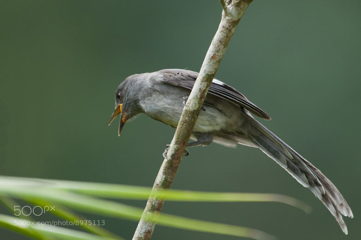 Photograph Long tailed Sibia by Allan Seah on 500px