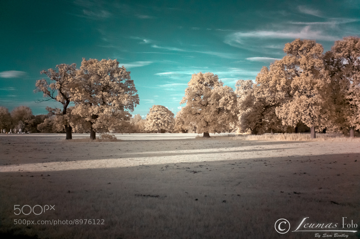 Photograph Infrared golden trees by Sam Bentley on 500px