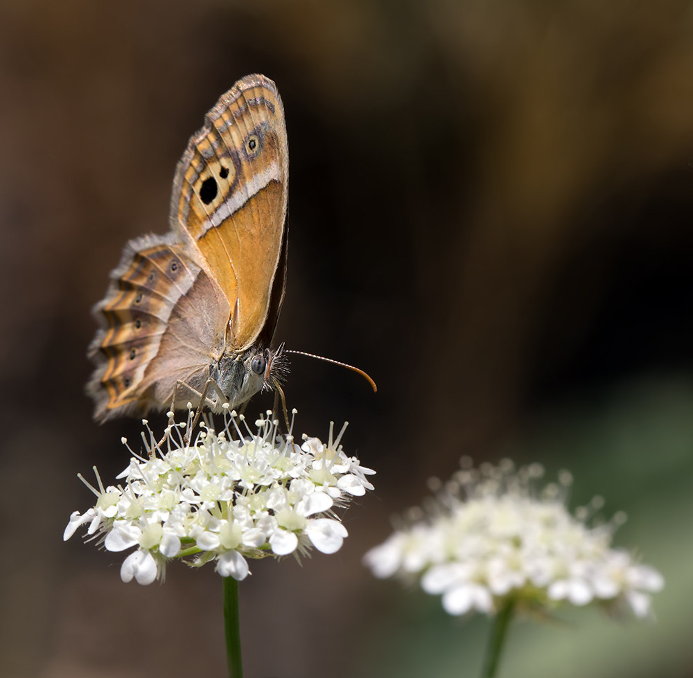 Photograph Butterfly 10 by Iman Mehr on 500px