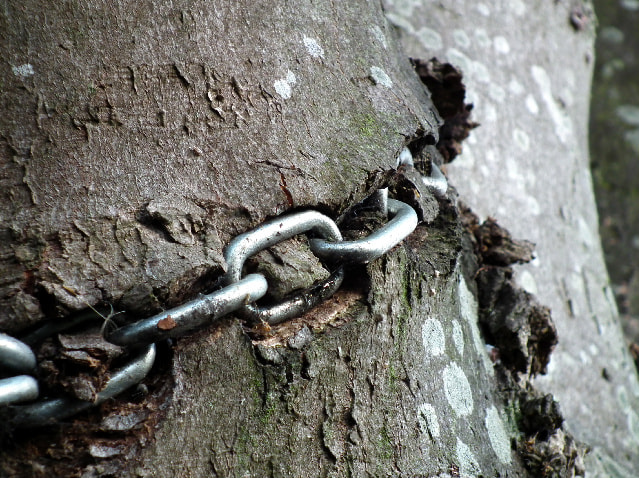 Photograph Sycamore in chains by Christopher young on 500px