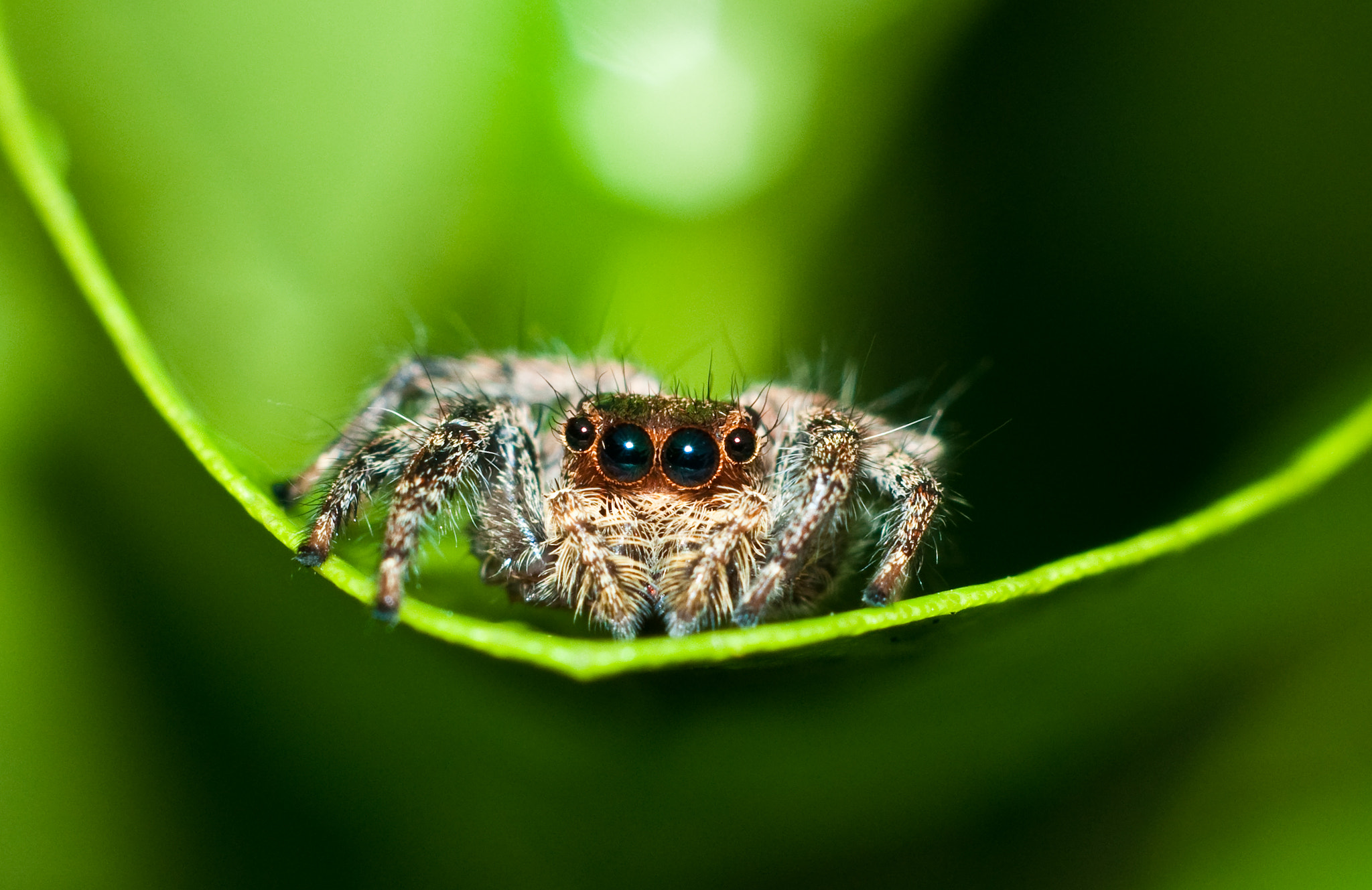 Photograph Jumping Spider by Arif Othman on 500px