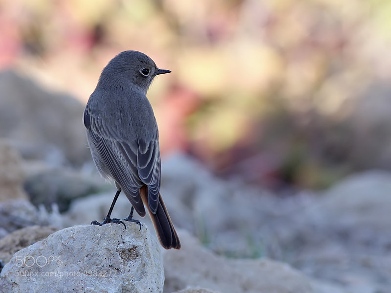 Photograph Black Redstart in evening light by Aat Bender on 500px