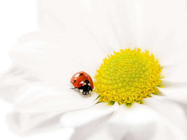 Photograph A Daisie with a Lady by Marion Olde Scheper on 500px