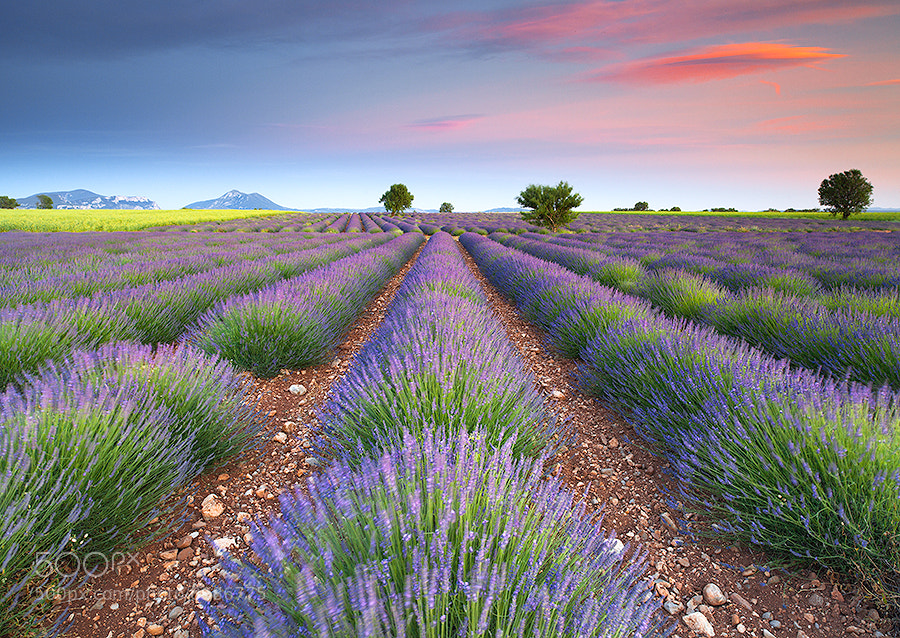 Photograph Dreamy Lavender by Tonio Di Stefano on 500px