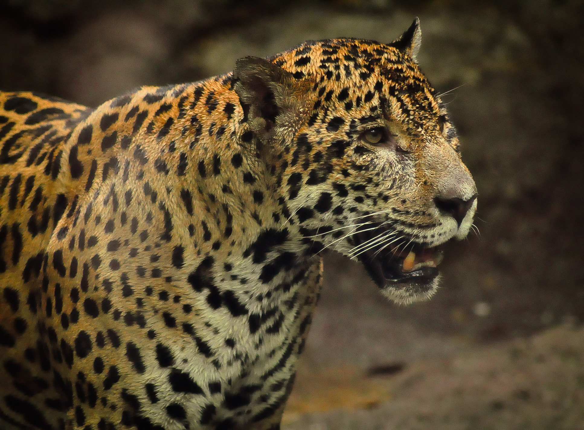 Photograph Jaguar by Xet Ng on 500px