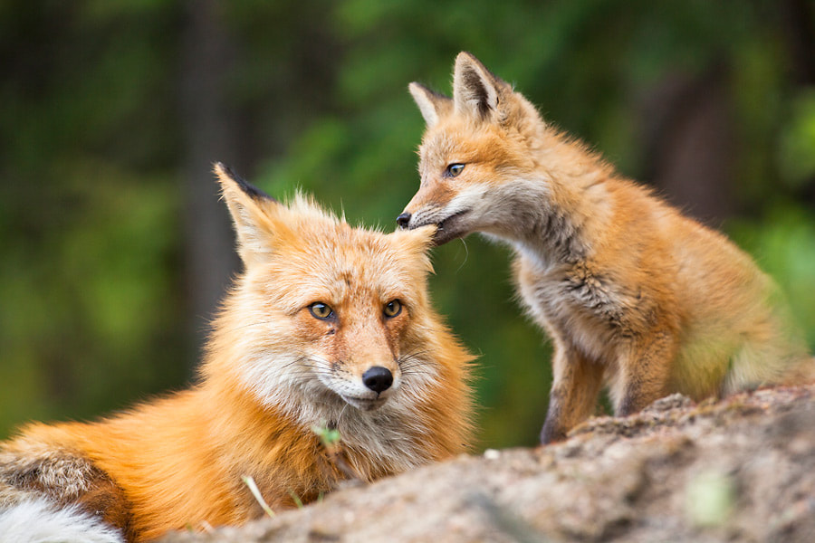 Photograph Fox kit chewing on his mom's ear by Nicolas Dory on 500px