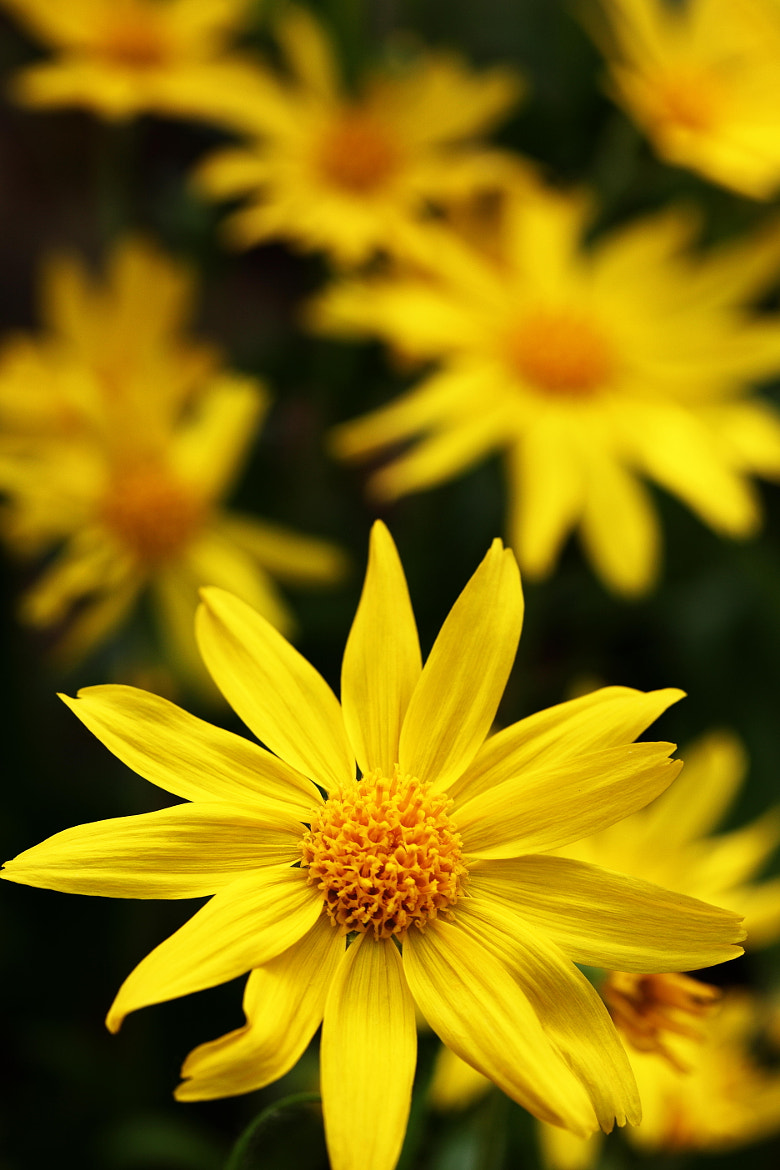 Photograph Daisies by Ron Perkins on 500px