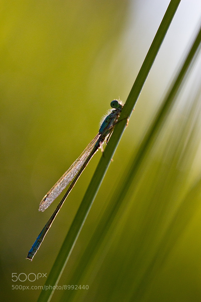 Photograph Damselfly II. by Martin Florian on 500px